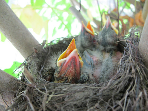 You see that there are three babies, and they look hungry!  I'm told that earthworms are a favorite food of American robins, but they also like caterpillars, beetles, and grasshoppers.