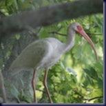 ibis150