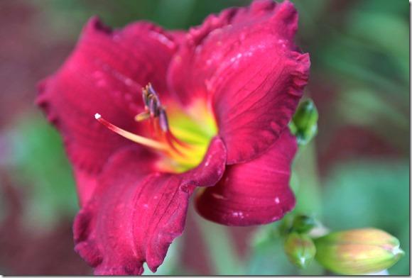 wine daylily