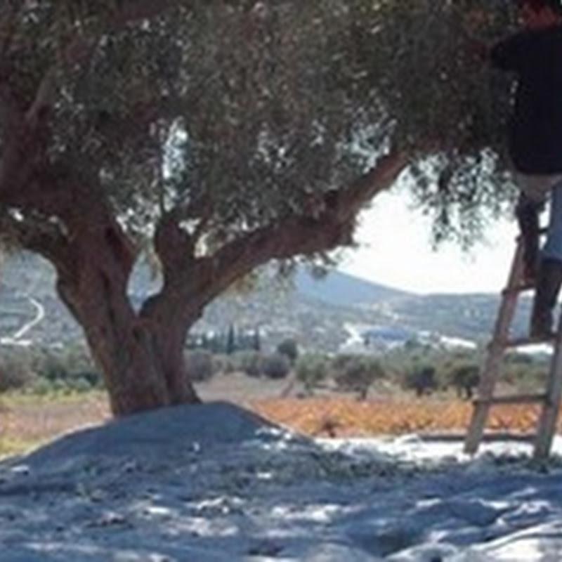 Αλλοδαποί και αθίγγανοι κόβουν τα ελαιόδεντρα για καυσόξυλα στα Μεσόγεια