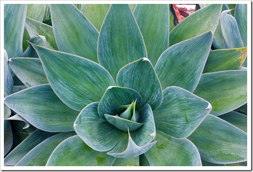 120929_SucculentGardens_Agave-Blue-Flame_13