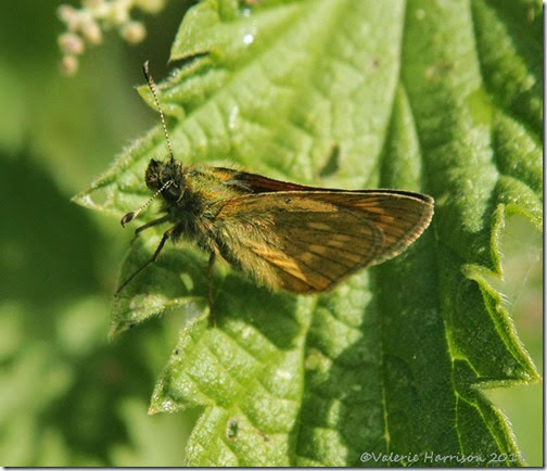 29-large-skipper