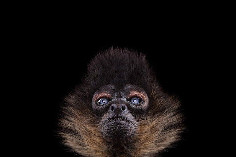 animal-photography-affinity-Brad-Wilson-spider-monkey-2.jpeg
