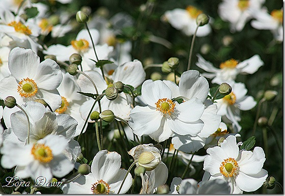 FPC_Anemones_Japanaese_White3