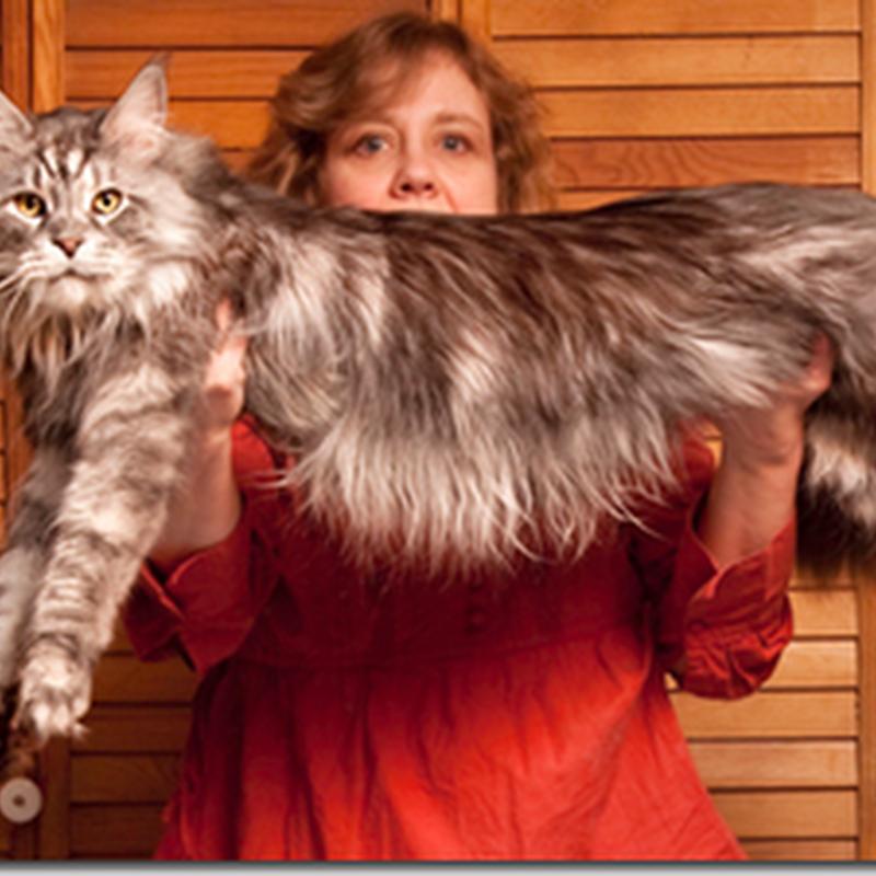 Opss .. Kucing paling panjang di dunia !