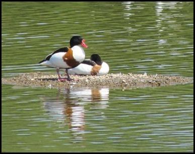 C Shell Ducks