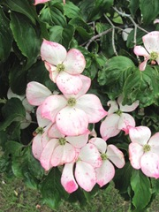 dogwood pink in bloom duxbury