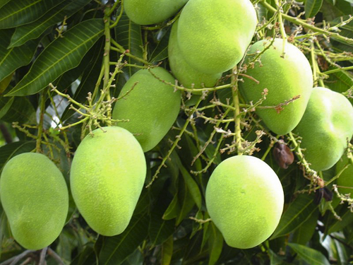 Green mango on the tree