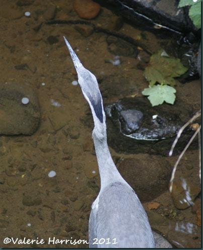 1-heron