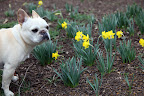 Oh, I like these daffodils!  They're of a slightly smaller variety.  There are so many different varieties of daffodils, some small, some large, some yellow, and others white and even orange!