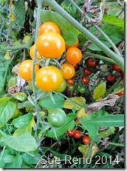 Sue Reno, Cherry Tomatoes