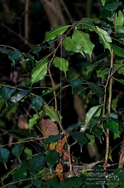 urodidae-cocoon-3