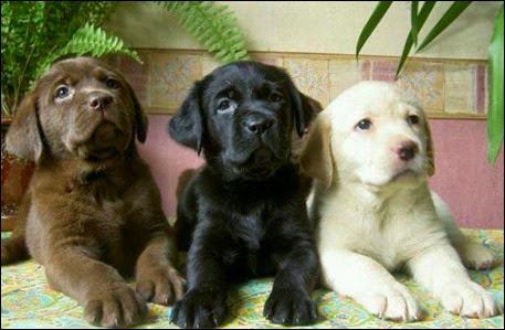selezione-genetica-cane