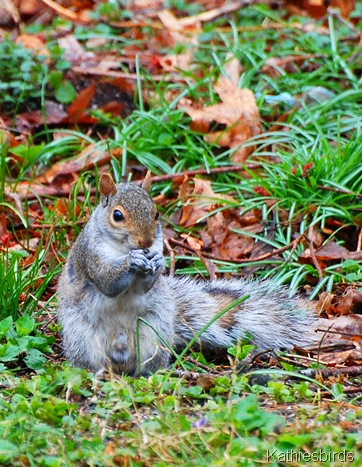 2. gray squirrel-kab