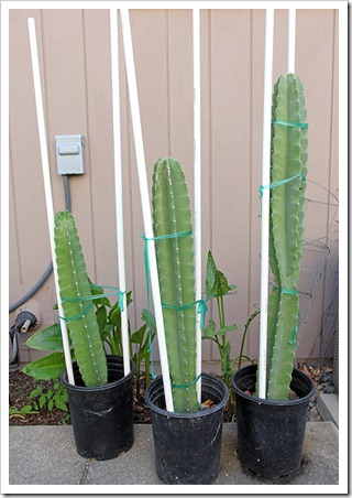 110730_Cereus-hildmannianus-susp.-hildmannianus_03