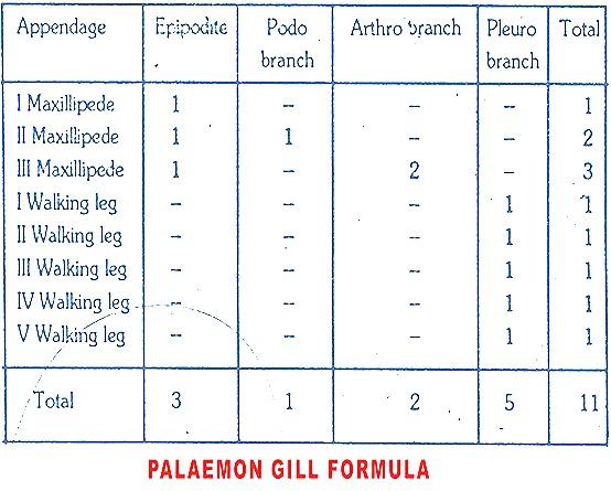 palaemon- respiratory-system
