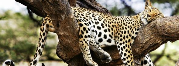 animal facebook covers sleeping cheetah facebook status
