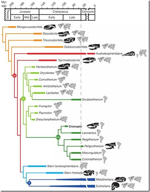 phylogeny-mammals