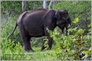 _P6A1740_wild_elephants_mudumalai_bandipur_sanctuary