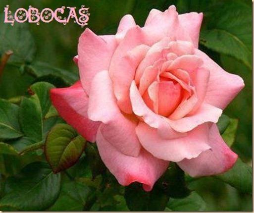 rosa-LoBocAs9007
