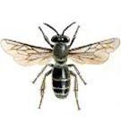 Lebah jantan