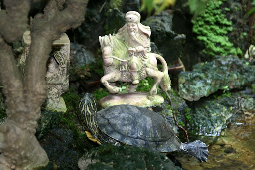 A turtle marvelling over his relatively gigantic size in Quan Cong temple's indoor pond.