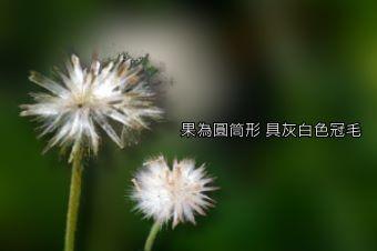 肺炎草5-種子