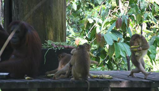 The bandits (macaques) raiding the food.
