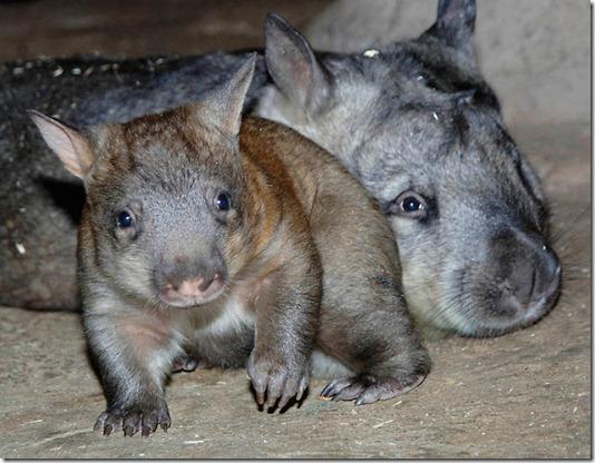 CORRECTION CORRECTION Baby Wombat