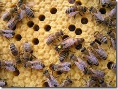 Rojení  a velikost včelstva 199