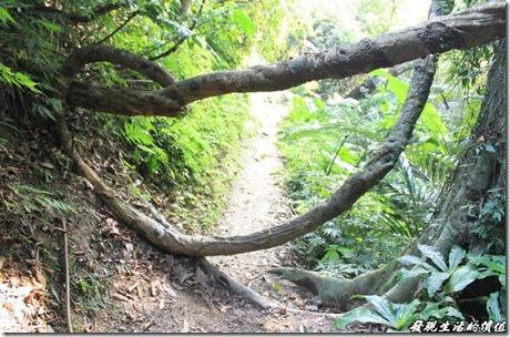大板根森林溫泉渡假村。「大板根森林渡假村」的特色就是它的森林公園,除了有其引以為傲的板根地形外,還有「魚藤」,這裡擁有全台最大的國寶級魚藤,最粗的部份,直徑就超過30公分,宛如一條巨蟒,原住民搗爛魚藤的根與莖,將少許的汁液放入河流或是溪流中,讓魚類行動遲緩易於補抓,是最天然的麻醉劑。