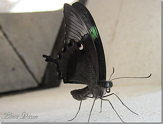 LG_Emerald_Swallowtail