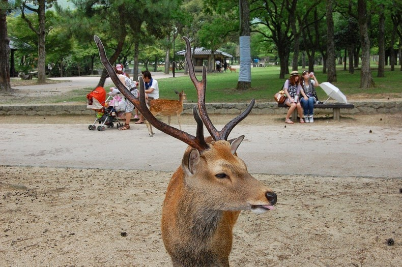 Nara The City Taken Over By Deer Amusing Planet