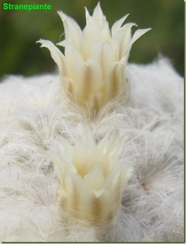 Mammillaria plumosa flower