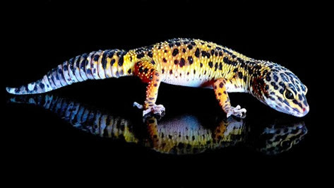 Amazing Pictures of Animals, Photo, Nature, Incredibel, Funny, Zoo, Eublepharis macularius, Leopard gecko, Alex (12)