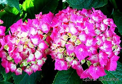 Glória Ishizaka - hortensia