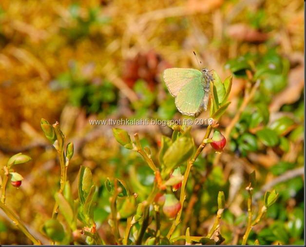 asfaltti työ vt 8 Kangasperhonen (Callophrys rubi) 095