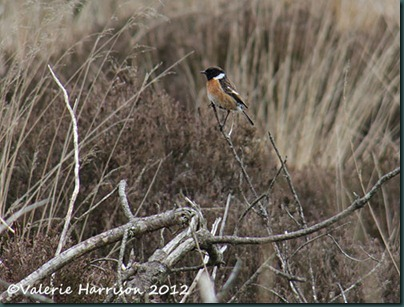 39-stonechat