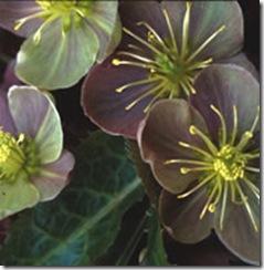 Helleborus Sternii Blackthorn Strain