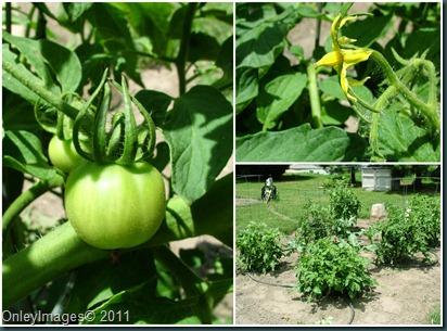 tomato collage0623