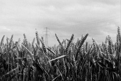 The-Wheat-Field-3---Film
