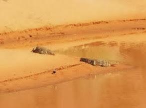 Amazing Pictures of Animals, Photo, Nature, Incredibel, Funny, Zoo, West African, crocodile desert crocodile, Crocodylus suchus, Alex (6)