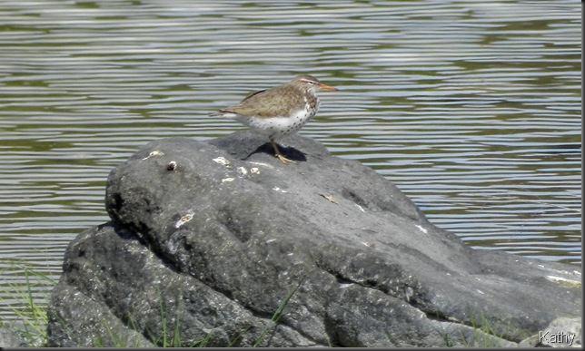 Spotted Sandpiper at June Lake