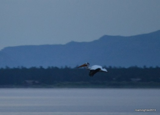 White Pelican at sunrise