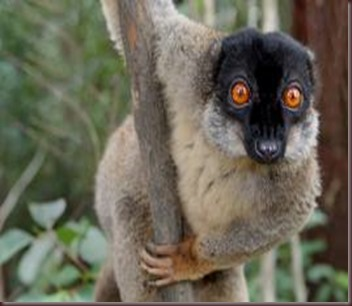 Amazing Pictures of Animals photo Nature exotic funny incredibel Zoo Lemur. Alex (5)