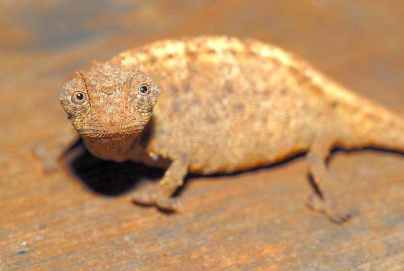 tiny-chameleon-8