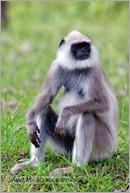 _P6A2106_grey_langur_monkey_mudumalai_bandipur_sanctuary