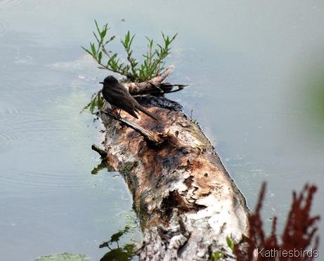2. black phoebe-kab