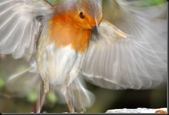 Robin blurred in flight (resized)