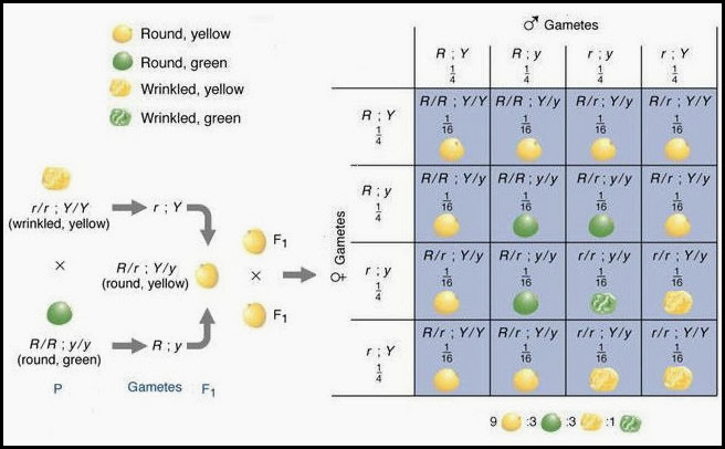 monohybrid and dihybrid crosses worksheet worksheets releaseboard free printable worksheets. Black Bedroom Furniture Sets. Home Design Ideas